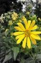 Fotografia: Zvedavec, fotograf: Peter Dulacka, tagy: kvet, les, okraj