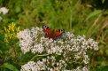 Fotografia: babôčka pávooká, fotograf: Lukas Zemanik, tagy: motýľ,kvety