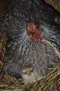 Fotografia: Ako vajce vajcu. Či aká matka taká Katka?, fotograf: Janka Grušková, tagy: sliepka