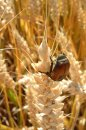 Fotografia: Enjoying sun, fotograf: Tomas Paska, tagy: sun,summer,pšenica,chrobák
