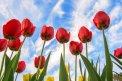 Fotografia: Ja som vyšší ako ty..., fotograf: Denis Goga, tagy: tulipány, kvety, modrá, obloha, červená