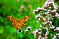 Fotografia: Potulky záhradou..., fotograf: Michal  Turcár, tagy: motýlik