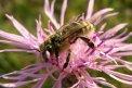 Fotografia: Včielka, fotograf: Tomáš Škriečka, tagy: včela, kvet