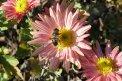 Fotografia: Vcela na kvetine, fotograf: Martina Kukučková, tagy: vcela, kvety, listy