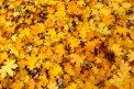 Fotografia: Farby jesene, fotograf: Dominika Rybárová, tagy: jeseň, list, žltá,