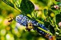 Fotografia: pilné včielky, fotograf: Pavol Novák, tagy: včely, nektar, Canon 500D