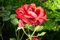 Fotografia: Bojnice-Rozkvitajúce ruže , fotograf: Martin Boškovič, tagy: ruža,pavučina,kvet
