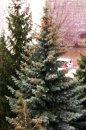 Fotografia: Šišky na vrchole stromu, fotograf: Simona Kleinová, tagy: šišky,strom