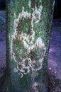 Fotografia: Chorá kôra stromu, fotograf: Simona Kleinová, tagy: Kôra,strom