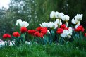 Fotografia: Tulip army, fotograf: Tamara Krestianková, tagy: #flowers #nature